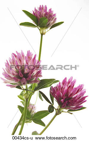 Stock Images of clover Trifolium pratense 00434cs.