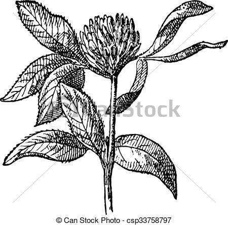 EPS Vectors of Red Clover or Trifolium pratense, vintage engraving.