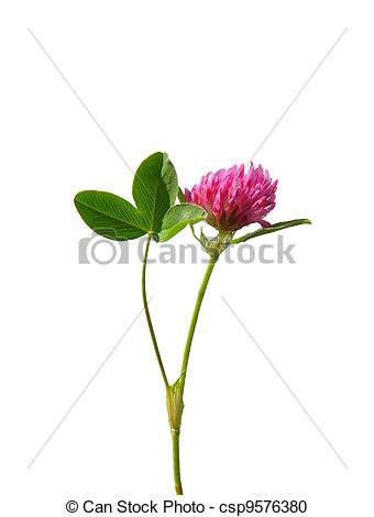 Stock Photography of Red clover (Trifolium pratense) csp9576380.