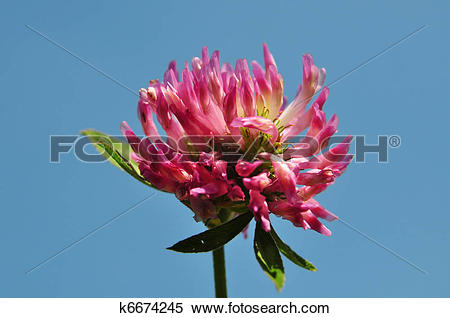 Stock Image of Red clover (Trifolium pratense) k6674245.
