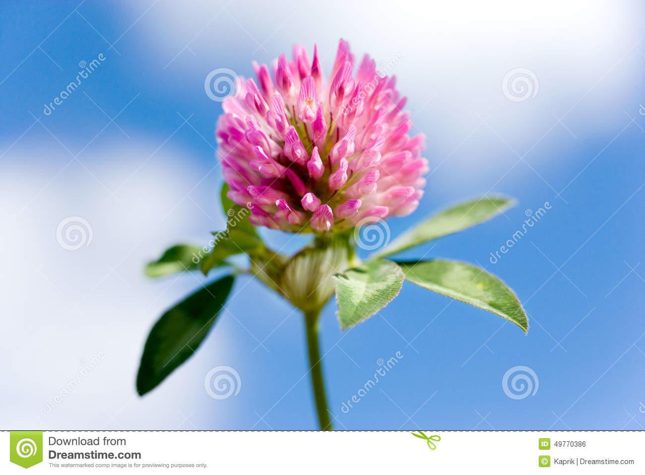 Trifolium Pratense.