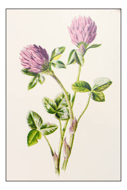 Trifdium pratense clipart #1