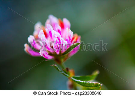 Stock Photo of Red clover (Trifolium pratense) with hoarfrost in.