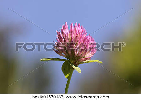 Stock Photo of Red clover (Trifolium pratense) ibxsik01570183.