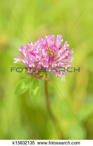 Stock Image of Red clover, medicinal plant,Trifolium pratense.