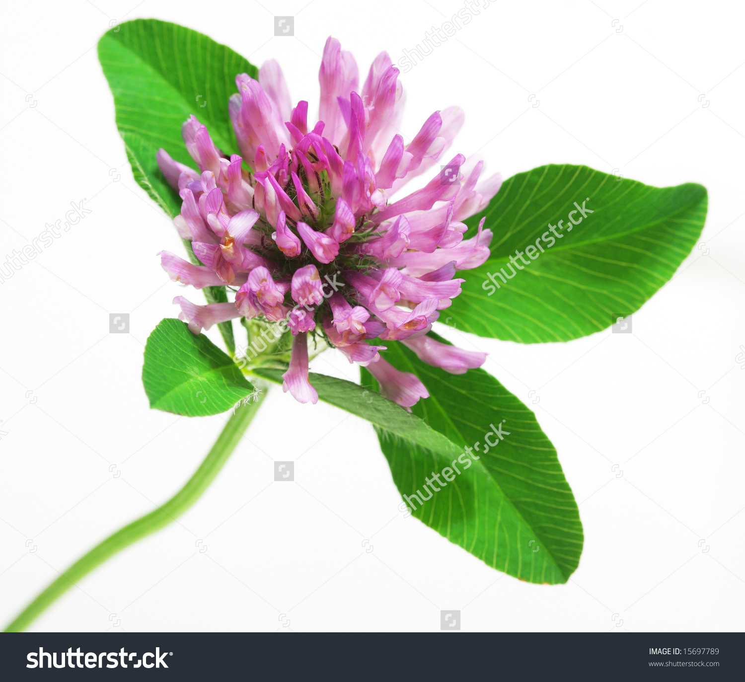 Trifolium Pratense Red Clover Flower And Leaves Isolated On White.