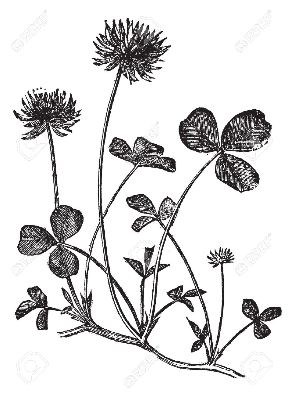 White Clover Or Trifolium Repens, Vintage Engraved Illustration.