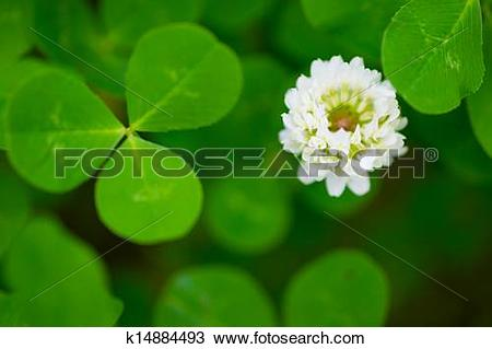 Stock Photo of White Clover.