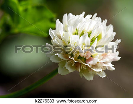 Stock Photo of white clover (trifolium repens) k2276383.
