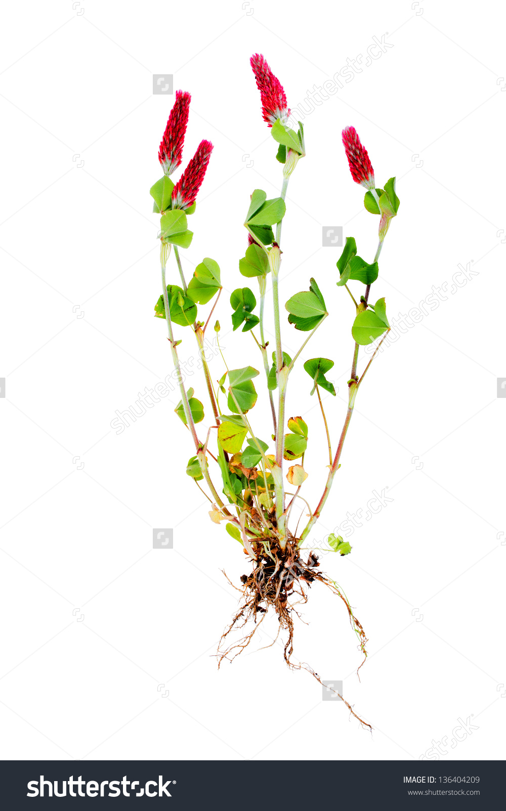 Clover Meat Red Crimson Clover Latin Stock Photo 136404209.