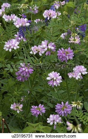 Stock Photography of Purple Vetch (Vicia americana) and White.
