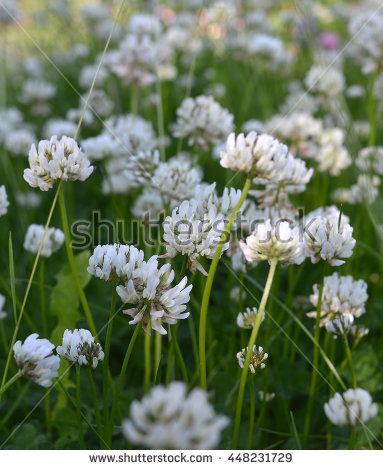 Trifolium Repens Stock Photos, Royalty.