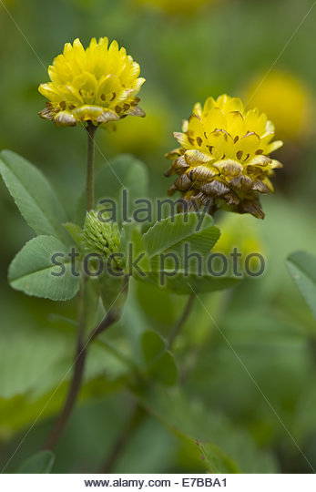 Brown Clover Stock Photos & Brown Clover Stock Images.