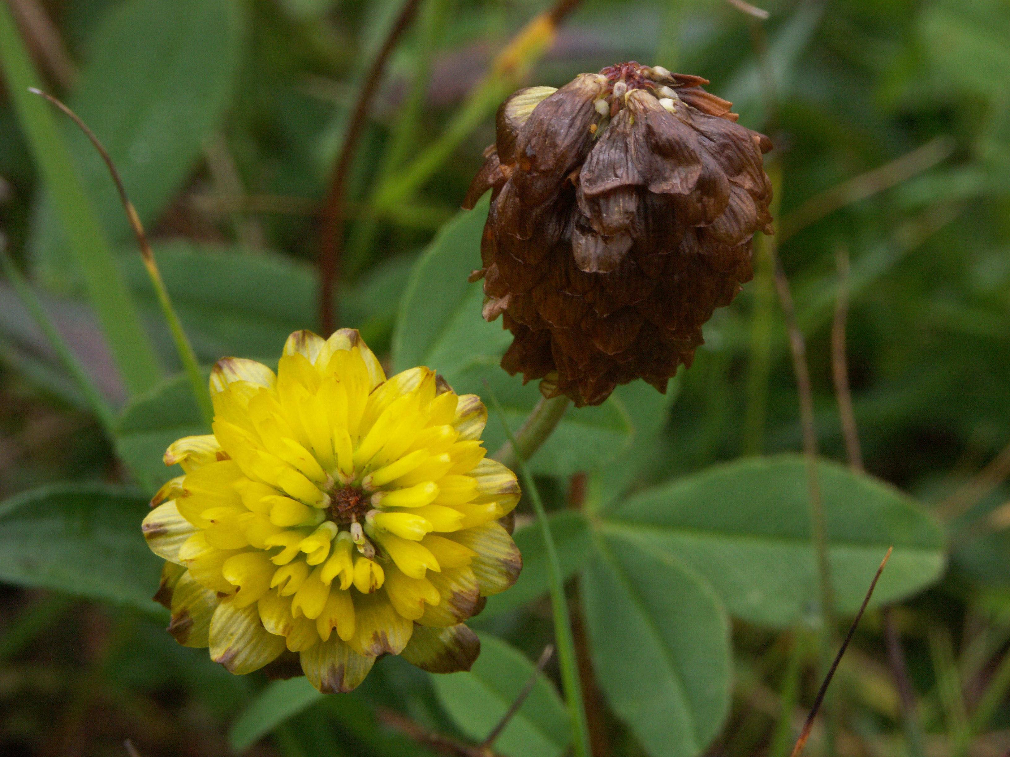 Trifolium sect. Chronosemium.