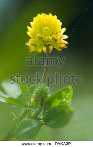 Trifolium Stock Photos & Trifolium Stock Images.
