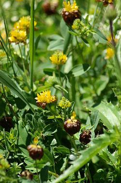 Trifolium badium.