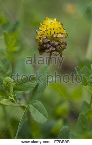 Clover Weeds Weed Stock Photos & Clover Weeds Weed Stock Images.