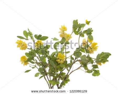 Flower Barbarea Vulgaris Bitter Yellow Rocket Stock Photo.