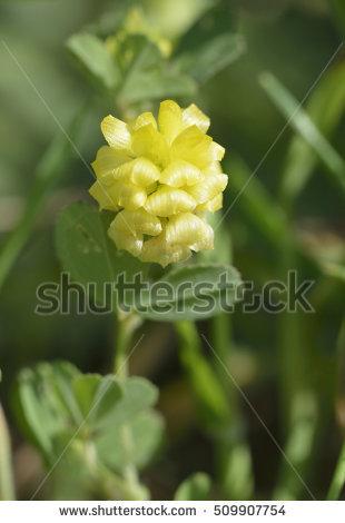 Trifolium Stock Photos, Royalty.