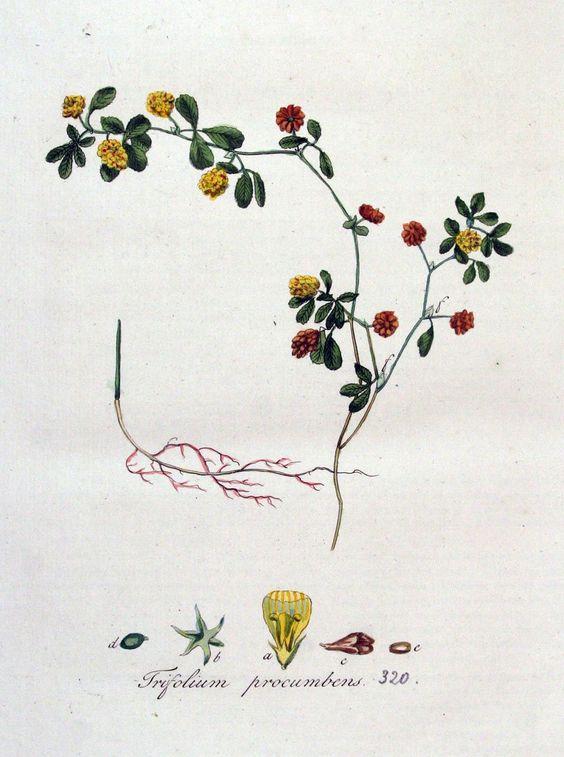 Trifolium campestre.