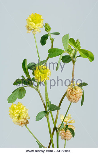 Clover Flower Cutout Stock Photos & Clover Flower Cutout Stock.
