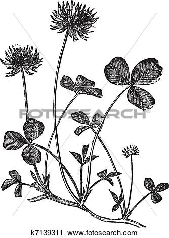 Clipart of White Clover or Trifolium repens, vintage engraving.