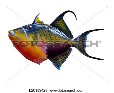 Pictures of Queen Triggerfish k20159428.