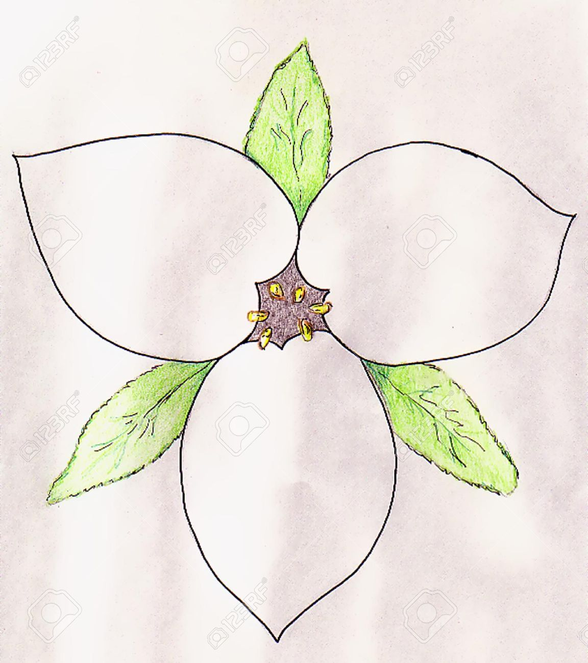 Trillium Royalty Free Cliparts, Vectors, And Stock Illustration.