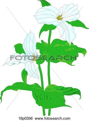 Clip Art of White Trillium 16p0356.