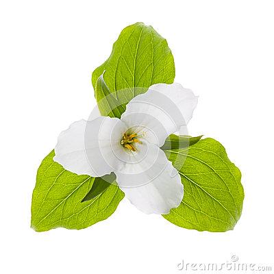 White Trillium Flower Isolated Stock Photo.