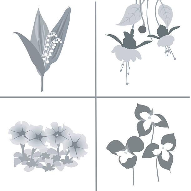 Drawing Of The Trillium Flower Clip Art, Vector Images.