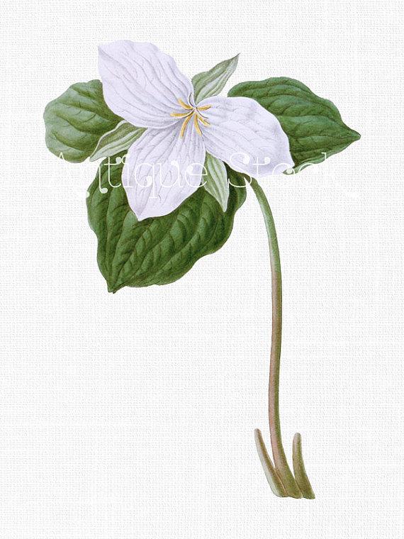Flower Clipart 'White Trillium' Digital Download.