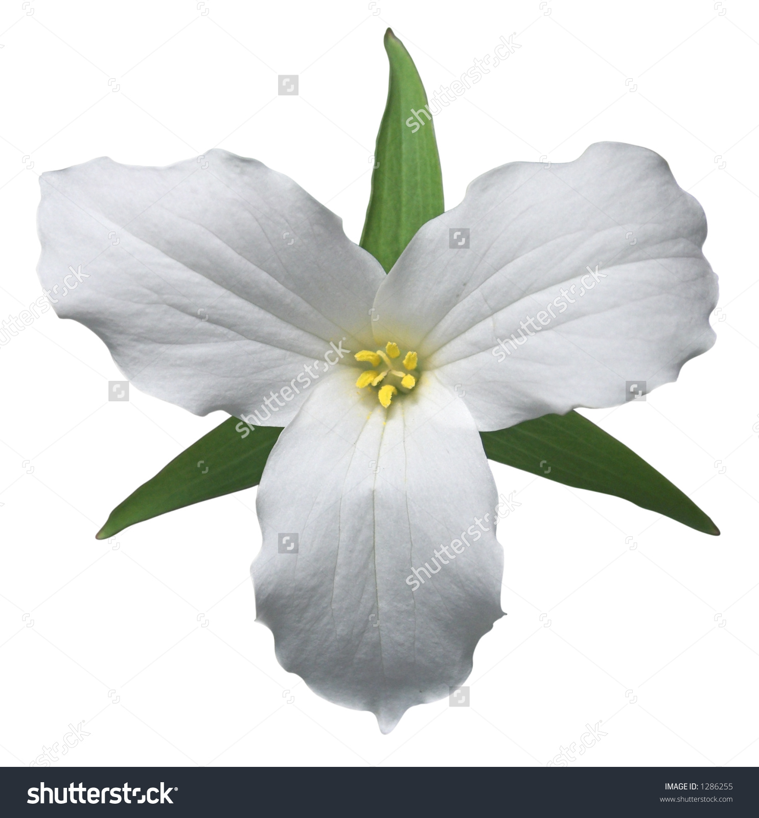 White Trillium Floral Emblem Ontario Path Stock Photo 1286255.