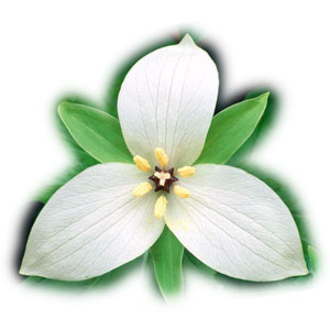 How to make an origami trillium flower: page 1.