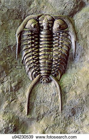 Stock Photograph of Fossil trilobite, Gabriceraurus dentatus.