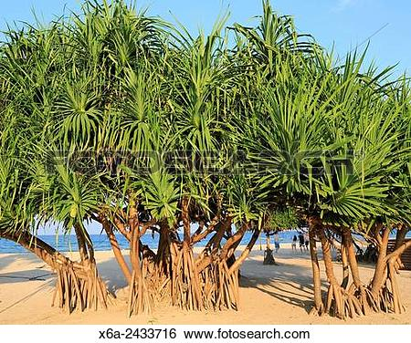 Stock Images of Pandanus palm trees growing on sandy beach.