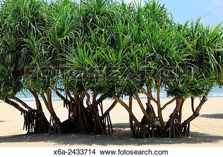 Stock Photo of Pandanus palm trees growing on sandy beach.