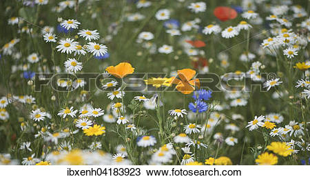 Stock Photo of Blumenwiese mit Geruchloser Kamille.