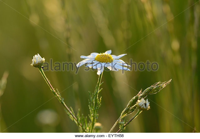 Beach Camomile Stock Photos & Beach Camomile Stock Images.