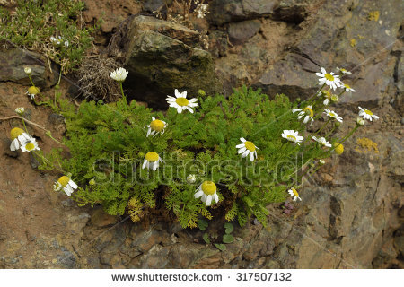 Coastal Flower Stock Photos, Images, & Pictures.