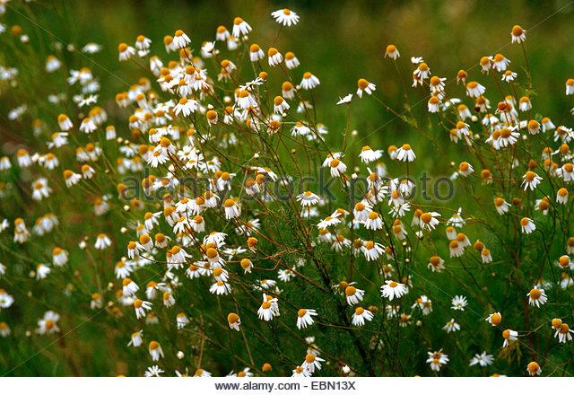 Tripleurospermum Perforatum Stock Photos & Tripleurospermum.