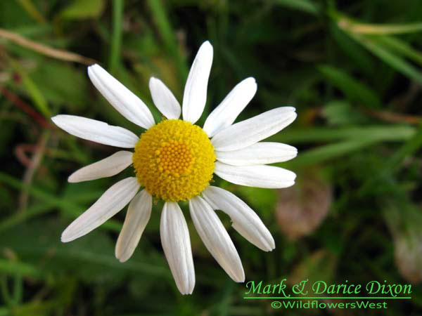 Wildflowers West : Scentless Chamomile (Tripleurospermum perforata).