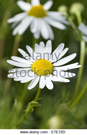 Wild Chamomile Stock Photos & Wild Chamomile Stock Images.