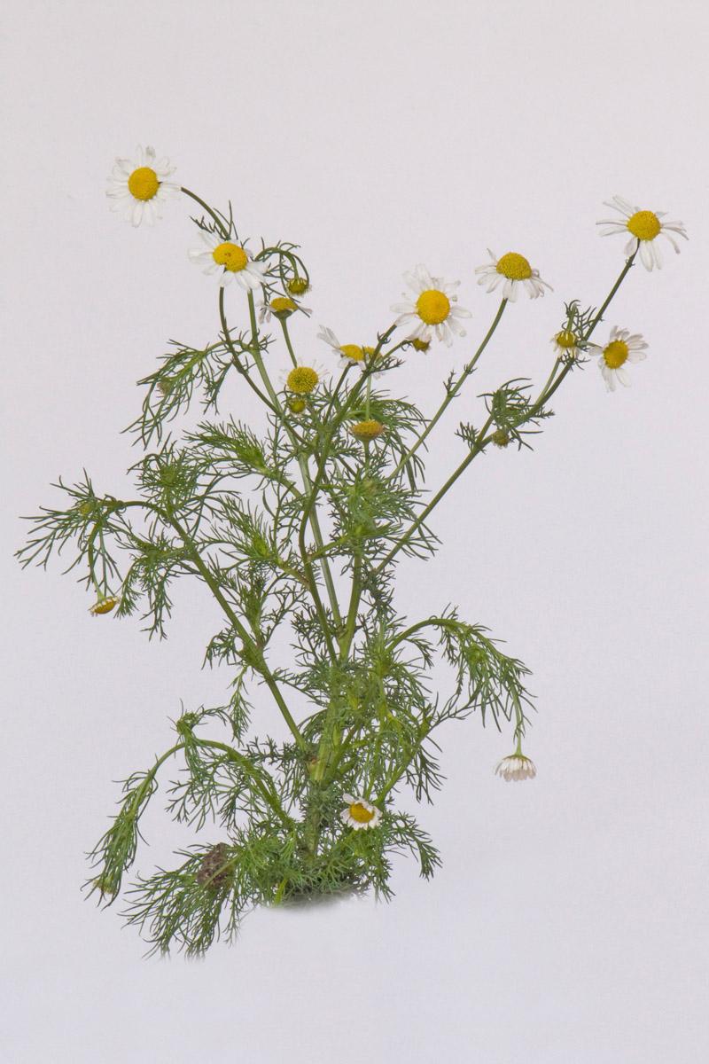 Botanical image collection from Moldavia (2010).