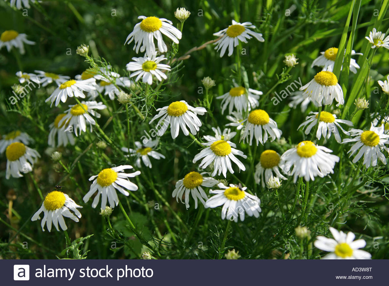 Scentless Mayweed Matricaria Perforata Or Tripleurospermum.