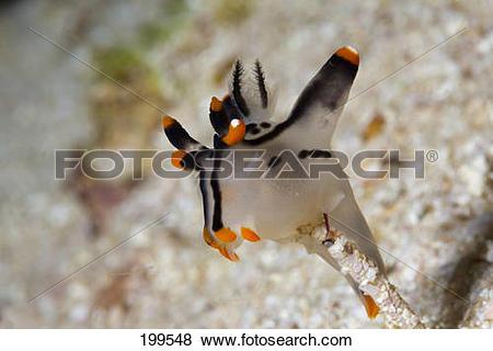 """Pictures of """"Neon Sea Slug (Thecacera picta) under water. Triton."""
