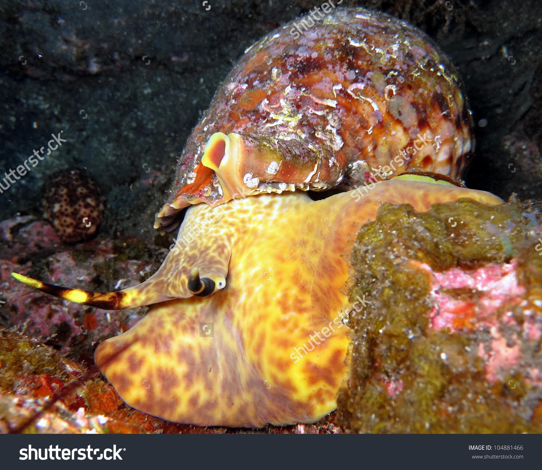 Triton Snail Charonia Tritonis Variegata Giant Stock Photo.