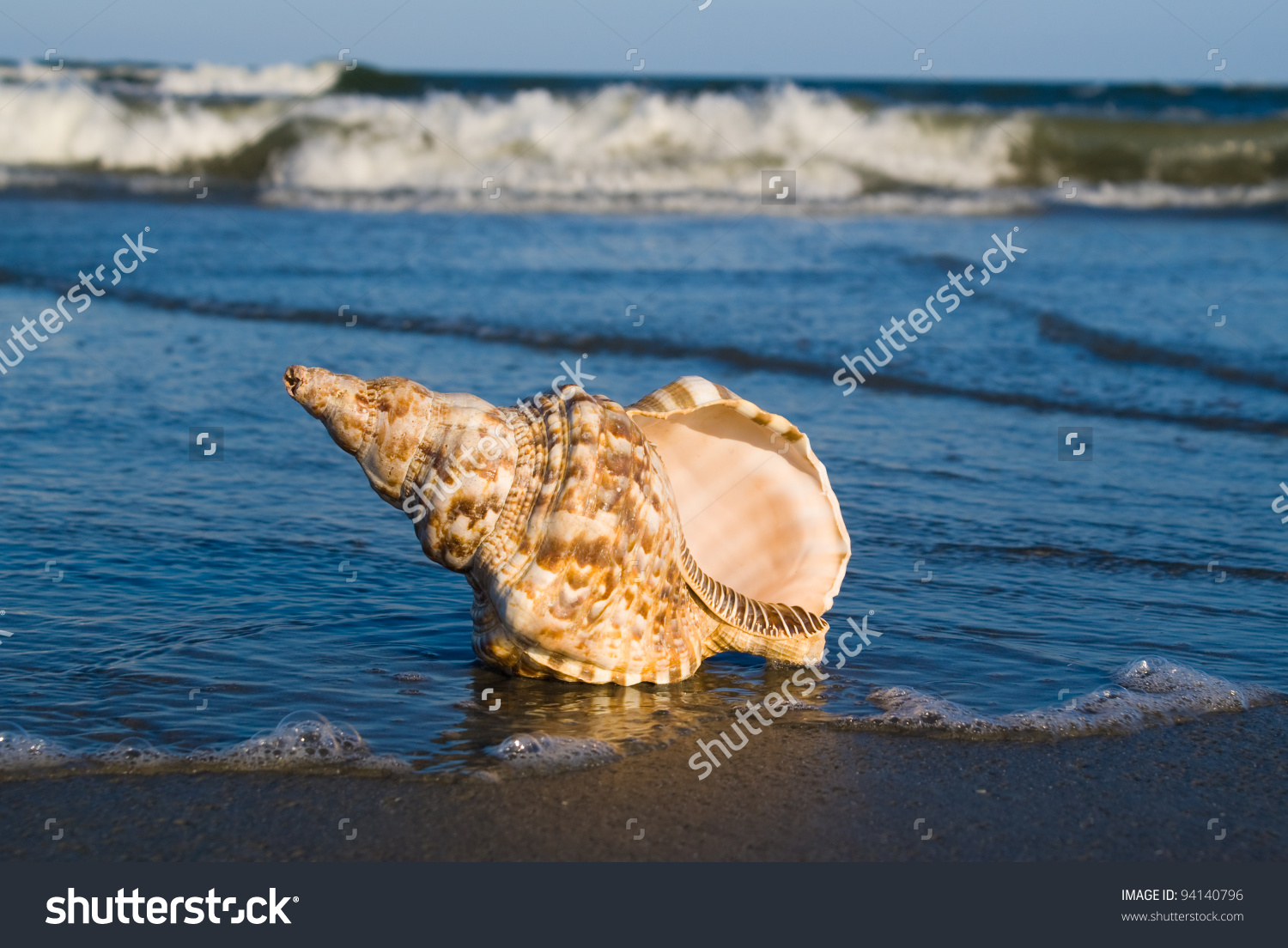 Triton Is Very Large Predatory Marine Gastropods (Snail) In The.