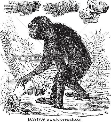 Clip Art of Chimpanzee or Pan troglodytes vintage engraving.