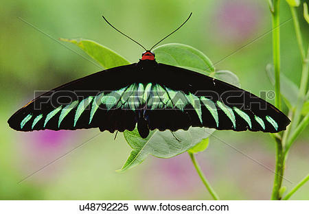 Stock Image of Raja Brooke's birdwing butterfly, Trogonoptera.